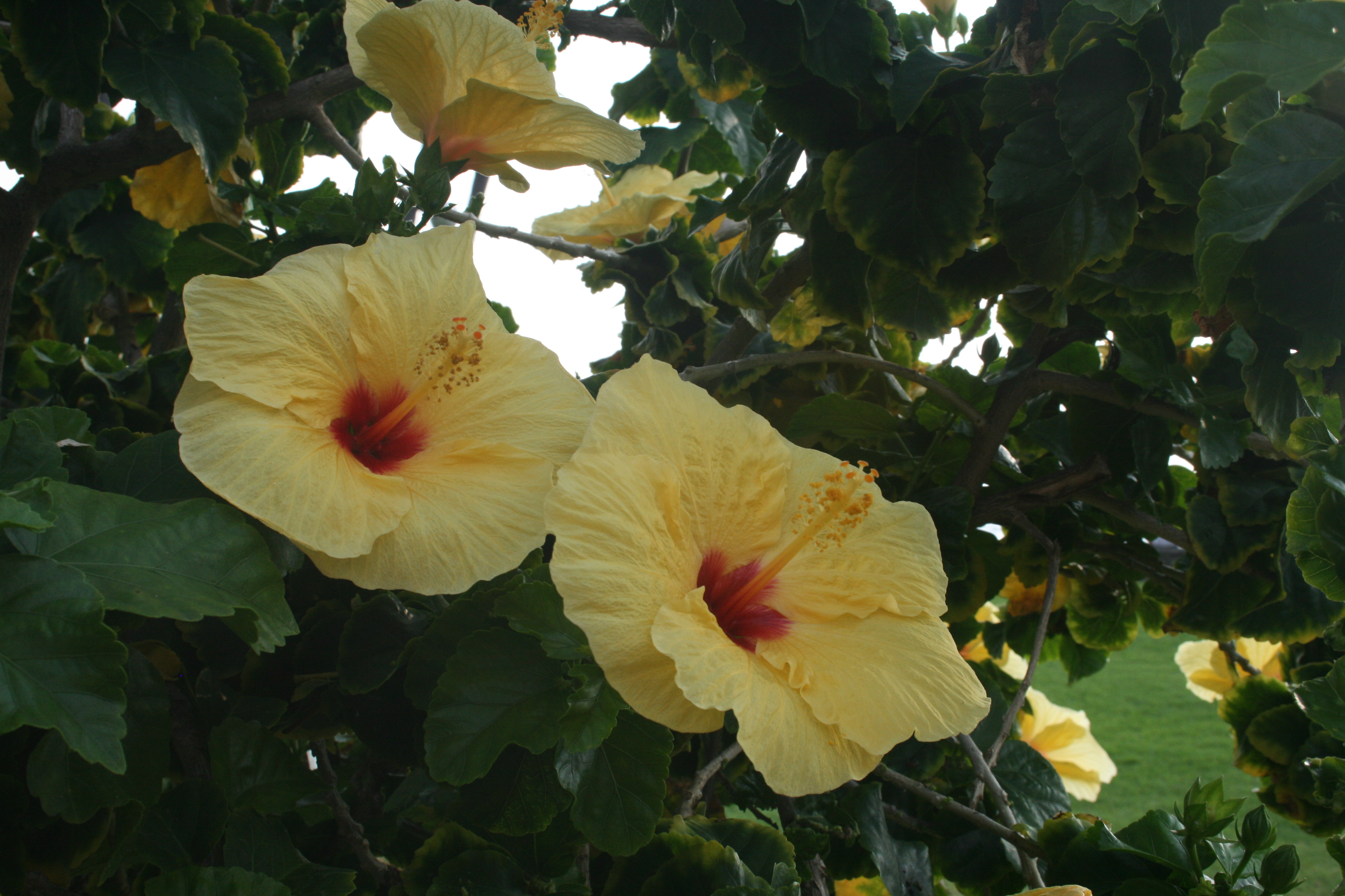 Hawaiian yellow hibiscus aloha journal hawaiis state flower is the yellow hibiscus the large flowers are four to six inches in diameter and often have a maroon colored center izmirmasajfo