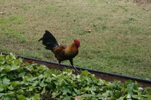 Rooster strutting his stuff